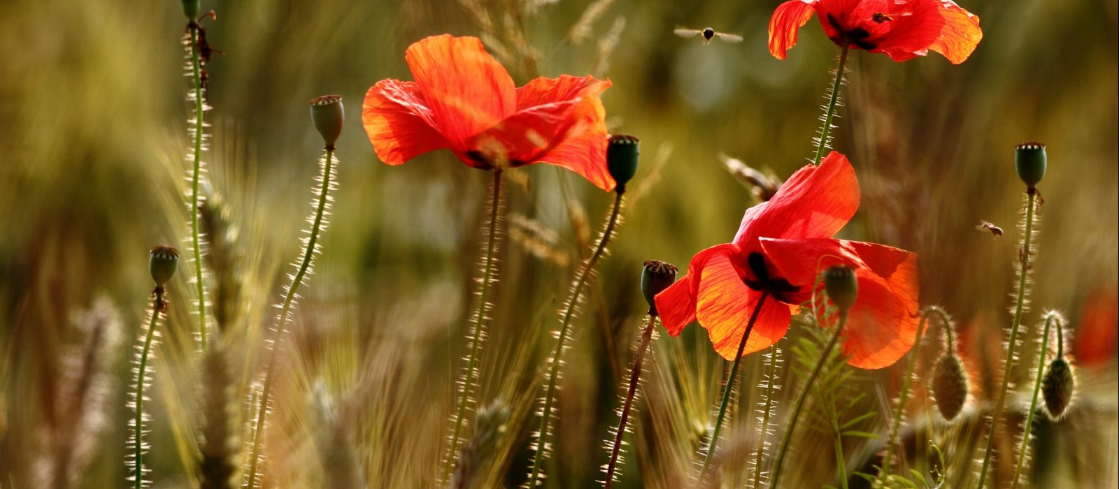 Coquelicots ©Christophe Hueber